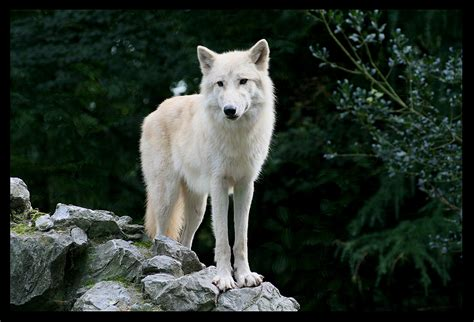 white wolf thecreaturesofchurchill wolf of the mist