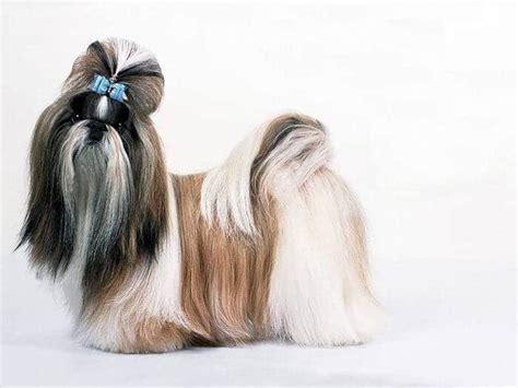shih tzu ta las 5 principales caracter 237 sticas de los perros shih tzu
