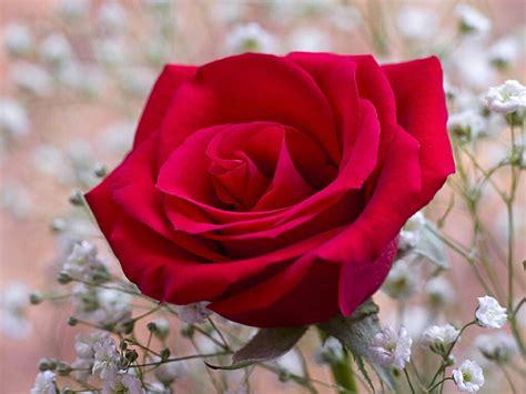wallpaper for desktop roses flowers for flower lovers red rose desktop hd wallpapers