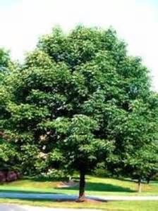 decorative trees for the home common ash trees trees for the home ornamental plants