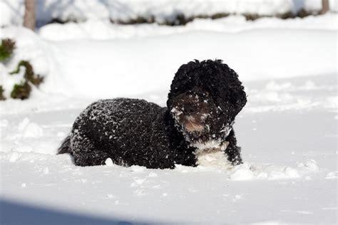 bo the white house dog bo in snow whitehouse gov