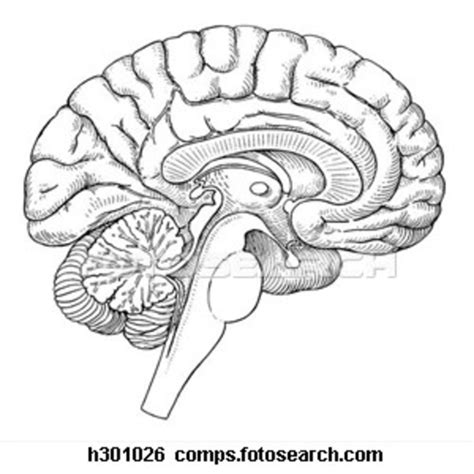 human brain sagittal section brain sagittal section h free images at clker com