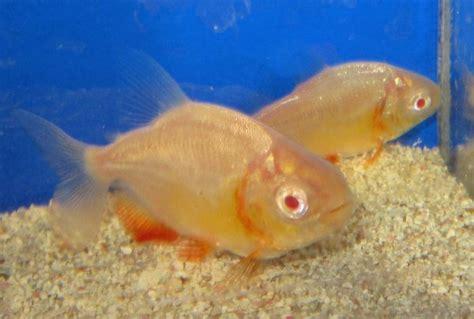 Termurah Fish All Ph Up pacu fish fishonlinerus