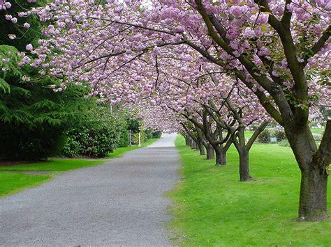 6 cherry tree road free cherry tree path stock photo freeimages