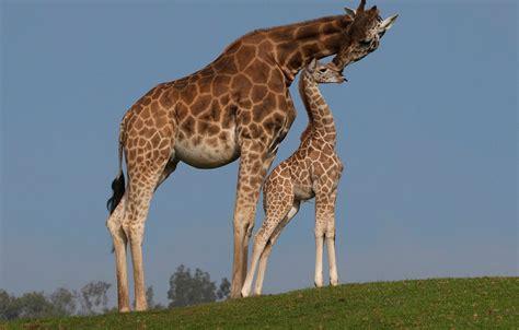 imagenes de jirafas salvajes las jirafas las crias de las jirafas