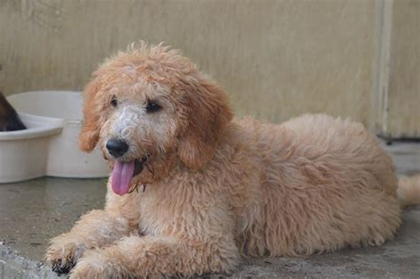 goldendoodle puppy energy home 187 events 187 k9 c llc 187 k9 c welcomes kara into