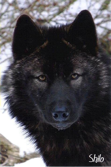 1000+ images about Lobos on Pinterest   Wolves, Animal ... Growling Black Wolf With Yellow Eyes