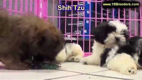 shih tzu furbaby rescue nj nj shih tzu rescue assistedlivingcares