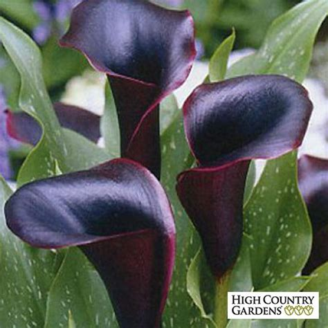 calla lily black forest zantedeschia calla lily low water plants eco friendly landscapes