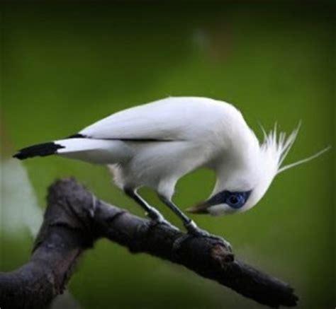 gambar burung jalak bali gambar burung hias piaraan kicau