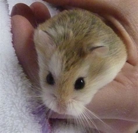 Hamster Roborovski Normal introducing my new robos white faced and normal