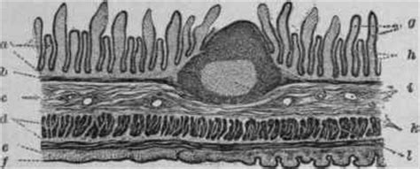longitudinal section of small intestine structure of the small intestine