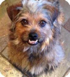 shih tzu dallas tx dallas tx cairn terrier shih tzu mix meet a for adoption