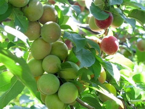 thinning fruit on apple trees 4 benefits of thinning fruit trees stark bro s