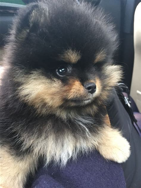 shunsuke pomeranian for sale best 25 black pomeranian puppies ideas on black pomeranian pomeranian