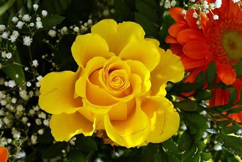 imagenes de rosas hermosas amarillas rosas taringa