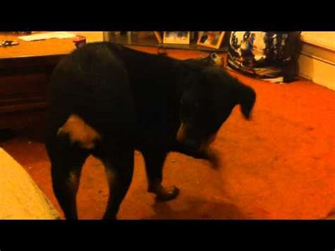 why are rottweilers tails docked why rottweiler s should their docked