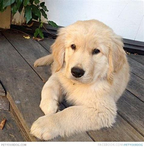 calm puppy breeds best mellow dogs breeds picture