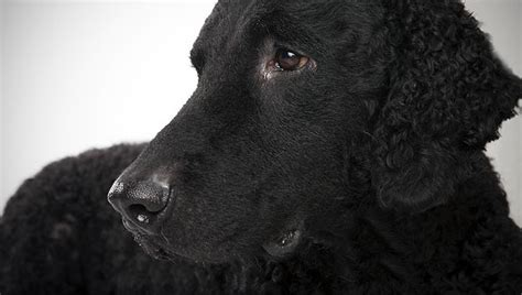 Curly-Coated Retriever : Dog Breed Selector : Animal Planet