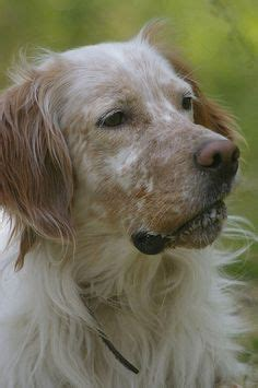 lemon setter dog 1000 images about english setter on pinterest english