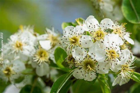 fiori pero treknature fiori di pero selvatico photo