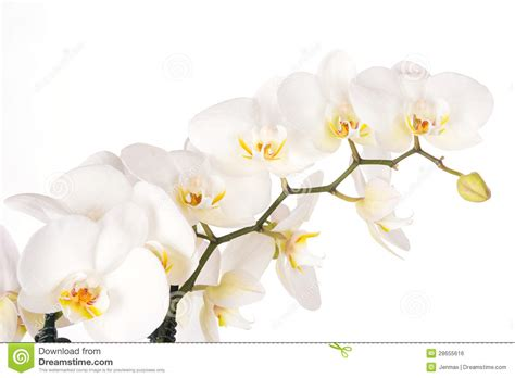 imagenes flores blancas hermosas flores blancas hermosas de la orqu 237 dea imagen de archivo