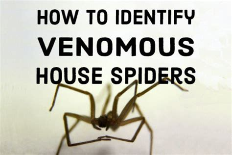 Kill Fleas On Carpet by How To Identify Venomous House Spiders