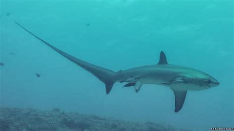 Record Of Live Birth Australia Shark Birth Captured On News