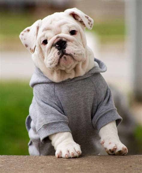 Nsweater Buldog bulldog im not for putting animals in
