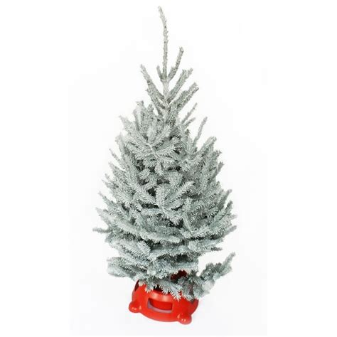 black hills spruce snow tip christmas tree williams sonoma