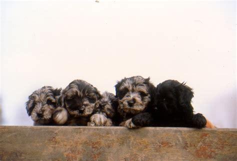 bergamasco puppies bergamasco puppies bergamasco