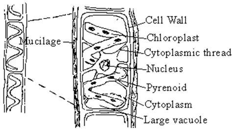 spirogyra reproduction diagram image gallery spirogyra vegetative