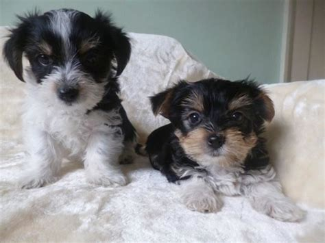 yorkie pups for adoption animals lebanon in a picture
