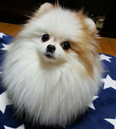 white fluffy pomeranian puppies 1366 best pomeranians images on pomeranians german spitz and dogs