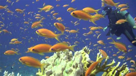 imagenes relajantes del mar buceo en el mar rojo norte arrecifes por juan nistal
