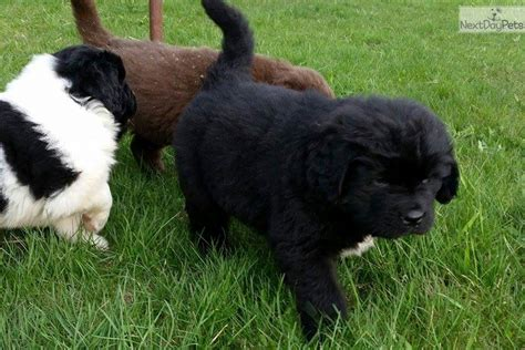 newfoundland puppies for sale near me newfoundland puppy for sale near duluth superior minnesota 9330a0f8 4e71