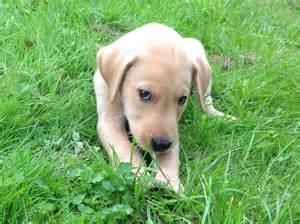 Year ago for sale dogs labrador retriever axminster