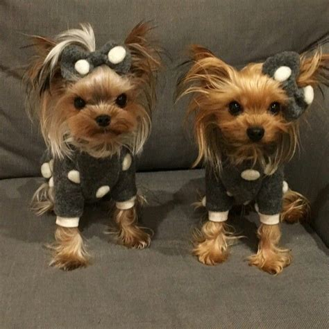 tiny yorkie haircuts best 25 yorkie hairstyles ideas on pinterest yorkie