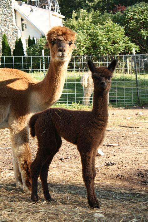 openherd andean dawn alpacas   farm located  princeton massachusetts owned  lisa prozzo
