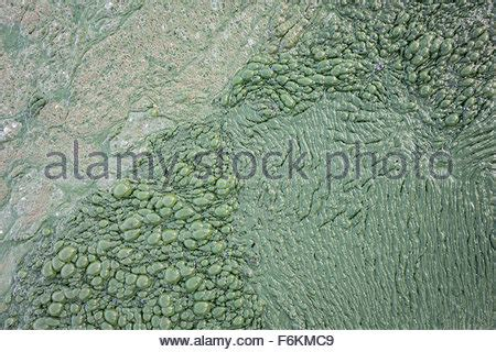 Algae Mat by Thick Algal Mat At Lonar Lake India Stock Photo Royalty