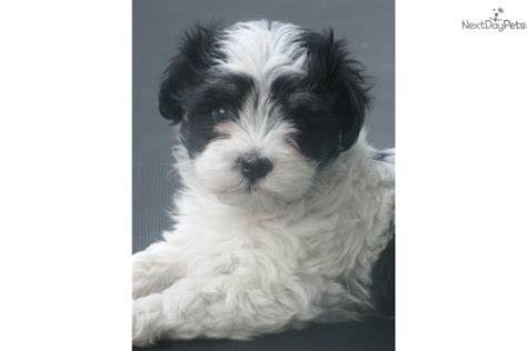 havanese puppies buffalo ny akc parti color havanese puppy for sale near buffalo new