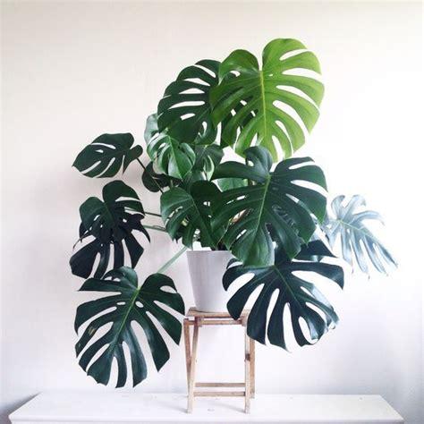 decoracion de plantas decorar con plantas de f 225 cil cultivo costilla de ad 225 n