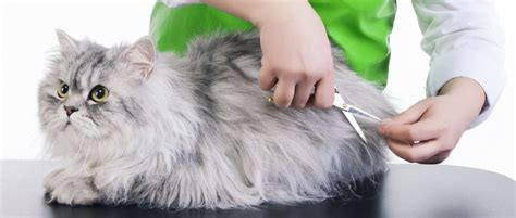 how to groom a how to groom your cat at home tips