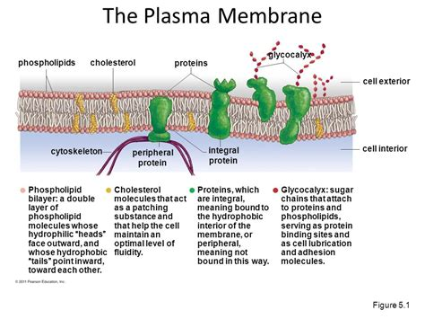 5 proteins in plasma membrane cell membranes are gatekeepers ppt