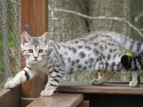 white bengal cat kittens white bengal so freaking adorable cats