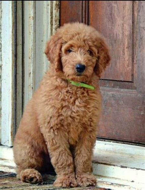 mini goldendoodles dayton ohio 17 best images about doggies on poodles