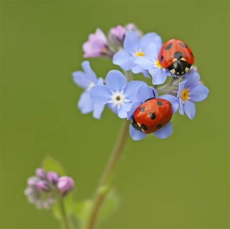 how to find ladybugs in your backyard ladybugs on forget me not flowers coccinelles ladybugs