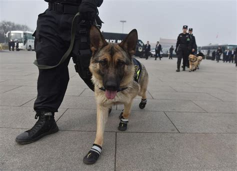 dogs wearing shoes dogs spotted wearing shoes at a conference in china pics musbizusblog
