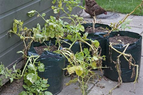 container potato gardening how to grow potatoes in containers rhs caign for