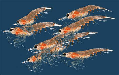 Résultat d'images pour krill